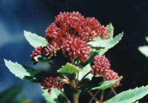 Hylotelephium fabaria var borderi