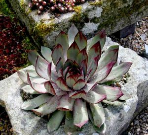 Sempervivum 'Blue Time'